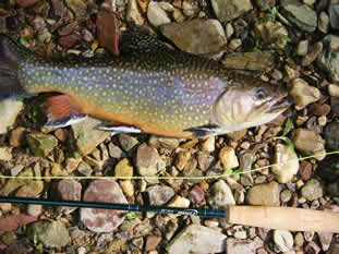 freestone brook trout from private waters at www.flyfishingforbrooktrout.com